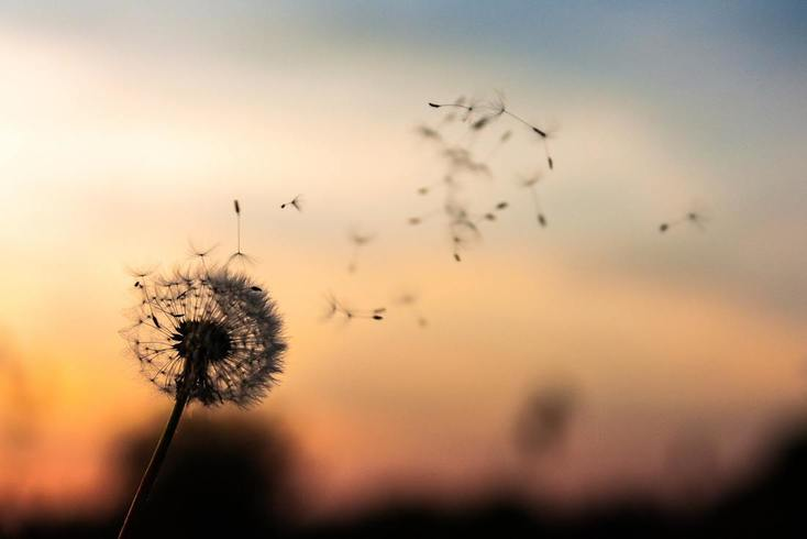 dandilion_blowing_in_the_wind_could_mean_allergies_or_hearing_loss